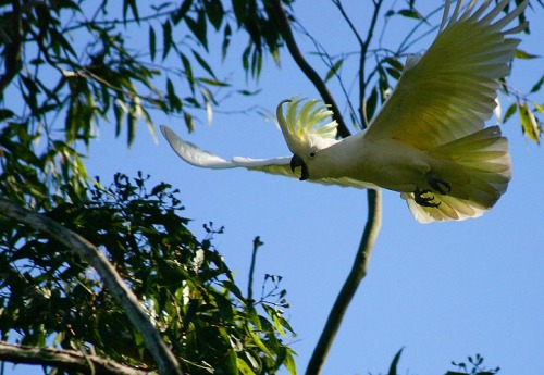 sulphur_crested_cockatoo.jpg