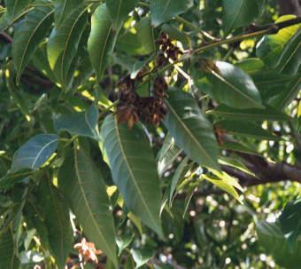 red-cedar-leaves