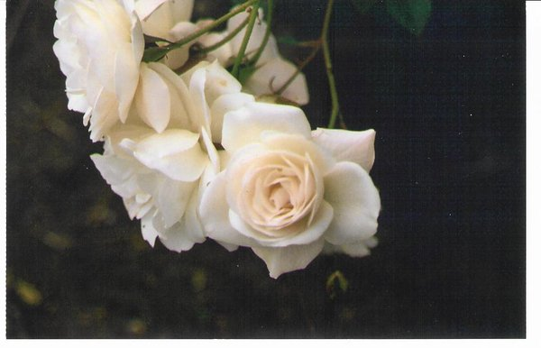 white_roses_by_raetard