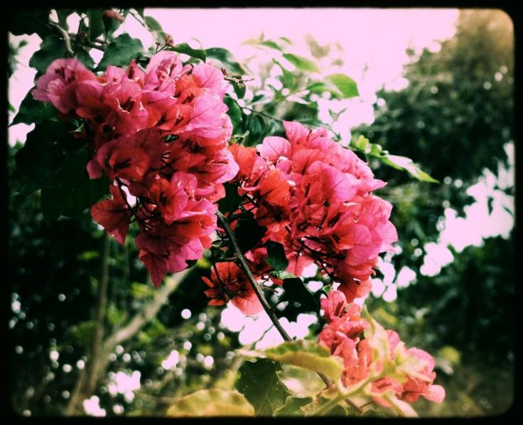 bougainvillea beauty