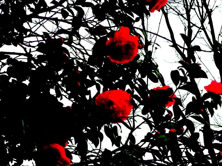 burnt red camellias